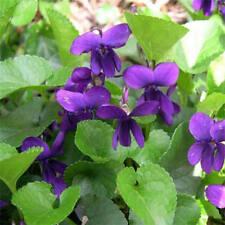 15+ VIOLA QUEEN CHARLOTTE FLOWER SEEDS / VIOLET /  PERENNIAL / FRAGRANT / EASY