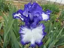Tall bearded iris Classic look
