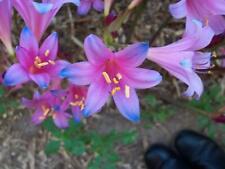 Spider Lily Bulbs Flower Lycoris Radiata Perennial Resistant Rare Electric Blue