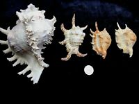 """Lot of 4 Spider Horse Conch Murex seashells shell 7"""" and smaller"""