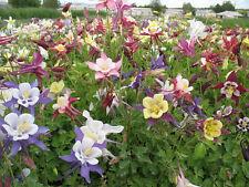 30+ Aquilegia Columbine Biedermeier Mix Flower Seeds / Deer - Rabbit Resistant
