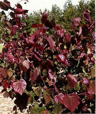 Cercis canadensis Forest Pansy 80-100 Roter Judasbaum rosa Blüte sehr rotlaubig