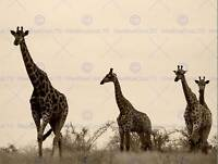 PHOTOGRAPH NATURE ANIMAL WILDLIFE AFRICA GIRAFFE GROUP POSTER ART PRINT BB12275B
