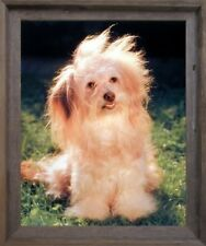 Havanese Fluffy Dog Cute Puppy Animal Wall Decor Barnwood Framed Picture (19x23)