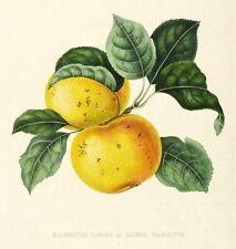 ÄPFEL - GOLDRENETTE / BERLEPSCH - kolorierte Lithografie 1853-1860