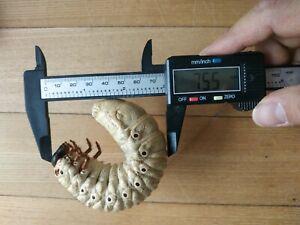 big size megasoma actaeon beetle larvae grub specimen