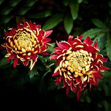 100 pcs Bicolor Red Yellow Chrysanthemum Garden Flower Plant Seed Morifolium