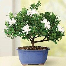 Gardenia Small Bonsai Tree Outdoor 6� To 8� Tall