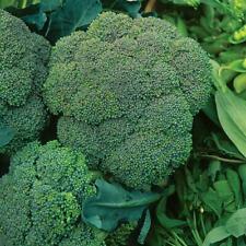BROCCOLI Waltham 50 Seeds HEIRLOOM vegetable garden WINTER HARDY NON-GM autumn