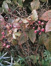 1950s Vintage 16x20 NATURE LANDSCAPE Wild Raspberries Botanical By ELIOT PORTER