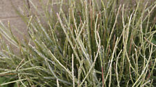 3 CANDELILLA DIVISIONS EUPHORBIA ANTISYPHILITICA - MAKE YOUR OWN CANDLEWAX