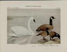 1910 BIRDS OF NEW YORK PLATES 22 & 21 - ARTISTS: LOUIS AGASSIZ FUERTES  #N072