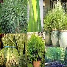 FD3687 Lemongrass Herb Lemon Grass Heirloom Seeds Fresh Herbs From Garden 10PC♫