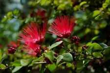 5 Red Mimosa Tree Seeds Silk Tree Albizia julibrissin Perennial Persian Seed