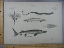 Rare Antique Original VTG Various Fish Sturgeon Aquatic Chart Engraved Art Print