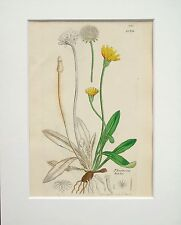 Yellow Hawkweed - Sowerby 1800s Mounted Antique Botanical Print Hand Coloured 4