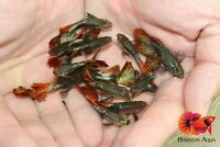 2x Males Red Dragon Indo Guppy - Live Aquatic Guppy Fish Quality Top Grade A+++