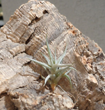 Tillandsia Funebris Rare Miniature Air Plants