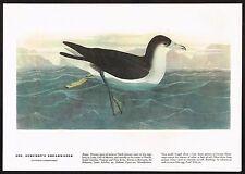1930s Original Vintage Audubon Shearwater Bird Limited Edition Art Print