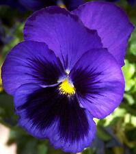 40 graines de Pensée Géante Bleue(Viola wittrockiana)X05 BLUE PANSY SEEDS SAMEN
