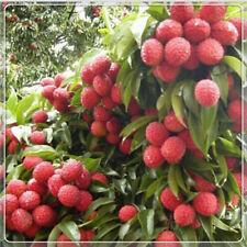 10pcs Seed Fresh Lychee Litchi Delicious Sweet Fruit Rare Bonsai Seasonal Garden