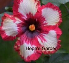 *Frosted Lipstick* Rooted Tropical Exotic Hibiscus Plant*Ships In Pot*