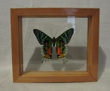 Framed large size colorful Amazonian butterfly - Urania Rypheus - free shipping!