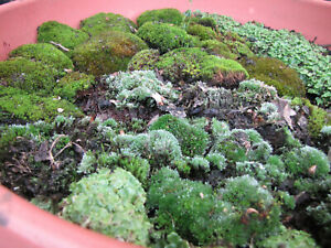 Bonsai Terrarium Pack Live Moss Mix