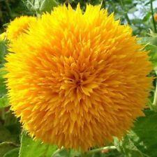 Teddy Bear Sunflower - 10+ seeds - DOUBLEFLOWERING!