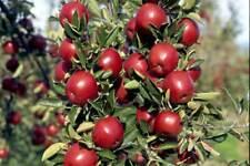 APORO® MARIRI RED  apple Grafting graft wood scion no roots sport Braeburn