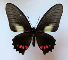 unmounted butterfly VINDULA DEJONE CELEBENSIS