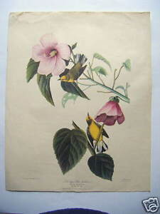 audubon print Blue Winged Yellow Warbler pink blossom