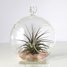 Air plant Kit in hanging glass Terrarium with rose coloured crushed glass.