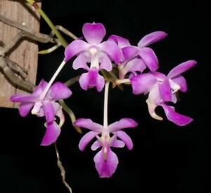 Orchid Aerides crassifolia  Species