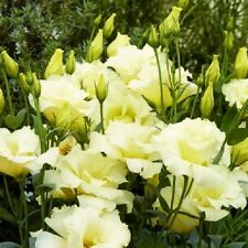 20+ Yellow Lisianthus Flower Seeds / Annual / Great Cut Flower / Gift