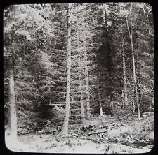 Glass Magic Lantern Slide A THICK PINE TREE FOREST C1890 PHOTO NATURE STUDY