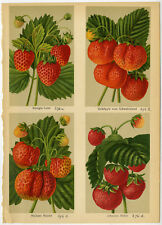 Antique Print-QUEEN LOUISA-FRUIT-STRAWBERRY-276-Bissmann-ca. 1920