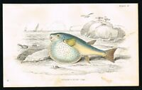 Pupperfish Pennant's Globe FIsh - 1850 Antique Hand-Colored Engraving - Jardine