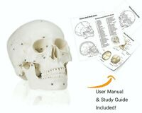 Vision Scientific VAL221 Medical Numbered Human Skull-3 Part | Life Size