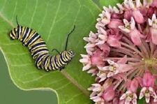 ASCLEPIAS INCARNATA Pink Milkweed Cinderella MONARCH HOST PLANT HARDY Free Gift