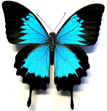 Papilio ulysses autolycus male *Timika*