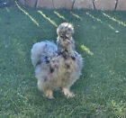 6 Show Quality Silkie Chicken Fertile Hatching Eggs,all Colors,Bearded & Crested