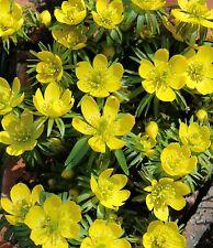 10, 25 oder 50 Winterlinge Eranthis Cilicica Blumenzwiebeln
