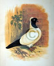 """Fancy Pigeon """" THE NUN  """" By James C. Lyell Poster Art 13"""" X 19"""""""