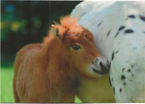 Horse Postcard - Miniature Foal - Beautiful v.h. Kosterhof
