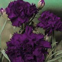 Carnation (Dianthus Caryophyllus Grenadin) King of Blacks- 50 seeds