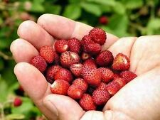 FRAGOLINA DI BOSCO - STRAWBERRY FRAGARIA VESCA, 50 SEMI