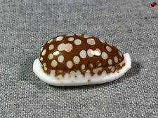 Cypraea cribraria, Mactan Isl., Philippines, 31,6 mm, NICE PATTERN, SELECTED
