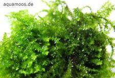 Creeping-Moos - Vesicularia sp. Creeping ,  Aquarienmoos