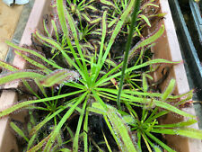 15 GIANT Cape Sundew (Drosera capensis) seeds.